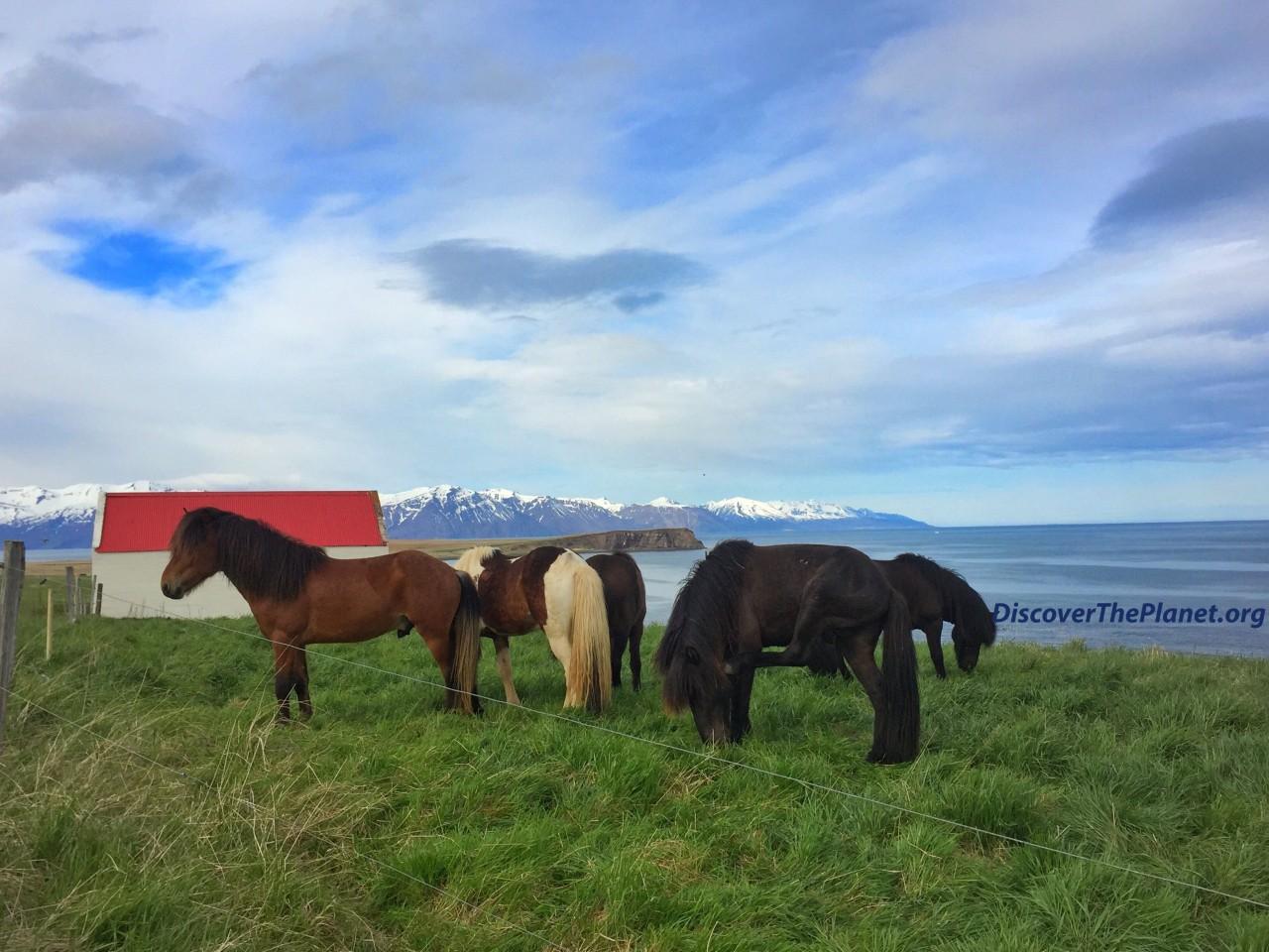 Iceland horses 2